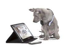 Cucciolo tailandese del ridgeback con il computer della compressa Fotografie Stock Libere da Diritti