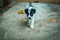 Cucciolo in Tailandia Fotografia Stock Libera da Diritti