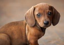 Cucciolo - Teckel o Dachshund Immagine Stock Libera da Diritti