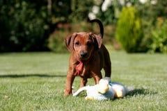 Cucciolo tedesco del pincher Fotografie Stock Libere da Diritti