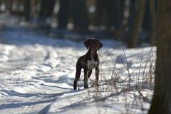 Cucciolo tedesco dell'indicatore dai capelli corti Immagine Stock Libera da Diritti