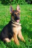 Cucciolo tedesco di shepard Fotografia Stock Libera da Diritti