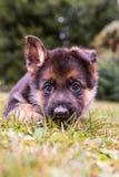 Cucciolo tedesco di Sheperd Fotografia Stock Libera da Diritti