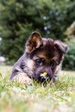 Cucciolo tedesco di sheperd con un fiore Immagini Stock