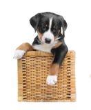 Cucciolo tricolore in un canestro isolato su un fondo bianco fotografie stock libere da diritti