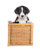 Cucciolo tricolore in un canestro isolato su un fondo bianco immagini stock
