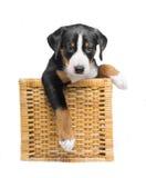 Cucciolo tricolore in un canestro isolato su un fondo bianco immagine stock libera da diritti