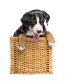 Cucciolo tricolore in un canestro isolato su un fondo bianco fotografie stock