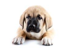 Cucciolo trimestrale del mastiff spagnolo fotografia stock libera da diritti