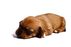 Cucciolo triste Fotografie Stock