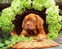 Cucciolo in un cestino con l'uva. Fotografia Stock
