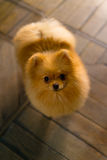 Cucciolo un spitz-cane che si trova sul cercare del pavimento Immagini Stock Libere da Diritti