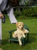 Cucciolo in una presidenza del adirondack fotografia stock