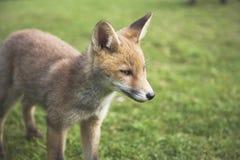Cucciolo urbano della volpe rossa Immagini Stock Libere da Diritti