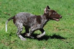 Cucciolo Zoomie fotografie stock libere da diritti