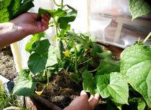 Cucember plants in the garden stock photos