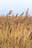 Cuchillas de la hierba amarillas y marrones en el viento imágenes de archivo libres de regalías