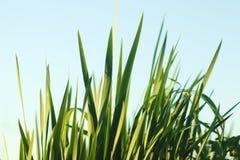 Cuchillas de la hierba contra el cielo azul foto de archivo libre de regalías