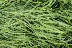 Cuchillas de la hierba mojadas del cierre Imagenes de archivo