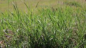 Cuchillas de la oscilación de la hierba en el viento en un prado, en dunas de arena de Baden-Baden almacen de video