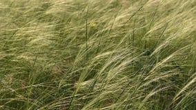 Cuchillas finas del soplo de la hierba en viento almacen de video