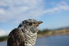 Cuckoo. (Cuculus canorus), a portrait close up against the dark blue sky Royalty Free Stock Photo