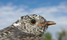Cuckoo Royalty Free Stock Photo