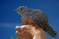 Cuckoo. Against the dark blue sky on a hand Stock Images