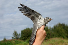 Cuckoo. On a hand it is high, against the dark blue sky Royalty Free Stock Photos