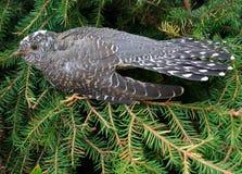 Cuckoo. Portrait of a cuckoo close up Stock Photos