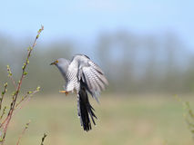 Cuckoo arriving Royalty Free Stock Photography