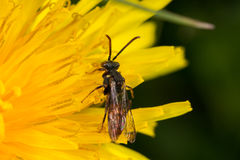 Cuckoo Bee (Nomada ferruginata) Stock Photos