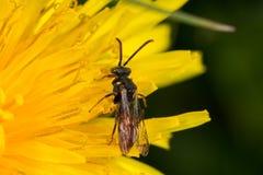 Cuckoo Bee (Nomada ferruginata). On a dandylion Stock Photos