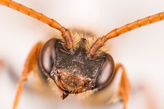 Cuckoo Bee, Nomada, Bee Royalty Free Stock Photography