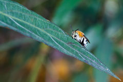 Cuckoo bees Stock Photography