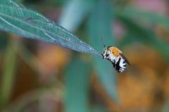 Cuckoo bees Stock Image