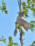 Cuckoo Stock Image