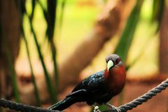 Cuckoo bird in aviary Stock Image