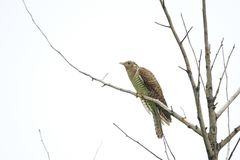 Cuckoo. A birdling of cuckoo stands on branch. Scientific name: Cuculus canorus bakeri stock images