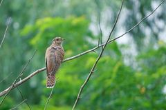 Cuckoo. A birdling of cuckoo stands on branch. Scientific name: Cuculus canorus bakeri stock image