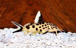 Cuckoo catfish Synodontis multipunctatus freshwater aquarium fish Royalty Free Stock Image