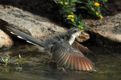 Cuckoo Cool-down (Yellow-billed Cuckoo) Stock Photo