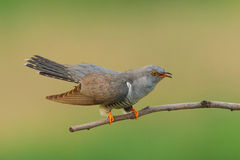 Cuckoo ( Cuculus canorus ) Stock Photography