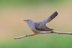 Cuckoo ( Cuculus canorus ) Royalty Free Stock Photos