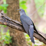 Cuckoo, Cuculus canorus Royalty Free Stock Image