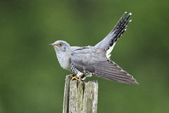 Cuckoo, Cuculus canorus Stock Photos