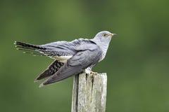 Cuckoo, Cuculus canorus stock photo