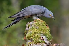 Cuckoo, Cuculus canorus, single bird. Cuckoo searching for food, single bird Royalty Free Stock Images