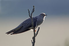 Cuckoo, Cuculus canorus, Stock Photography