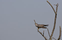 Cuckoo (Cuculus canorus) on a Tree Royalty Free Stock Photography